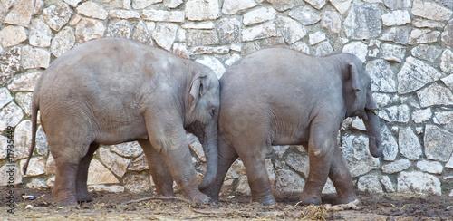 Fototapeta Indian elephants