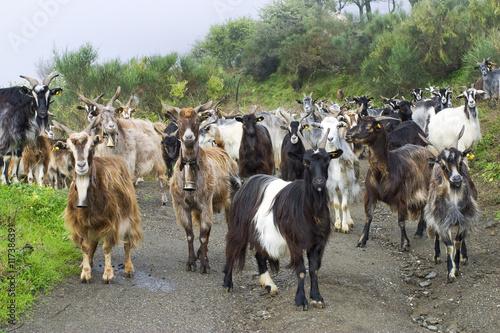 gregge di capre