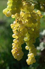 white wine grape, vertical