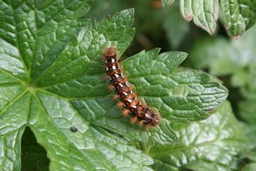 Caterpillar of the knot grass moth