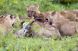 Lion family eating their prey poster