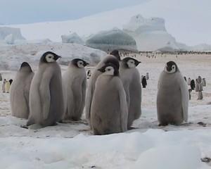 Les jeunes empereurs de l'Antarctique