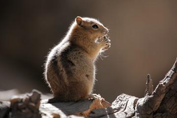 Streifenhoernchen, Kalifornien, Chipmunk