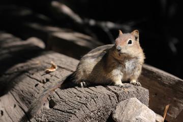 Streifenhoernchen, Chipmunk, Kalifornien