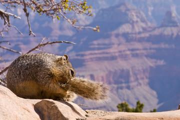 Squirrel Biting its Tail at Grand Canyon