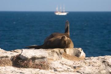 Galapagos Sea Lion (Zalophus californianus wollebaeki)