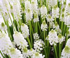 Muscari bothryoides var.alba - close up