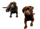 Obedient labradors poster