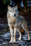 wolf - Fine Art prints
