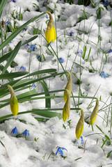 Osterglocke - daffodil 20