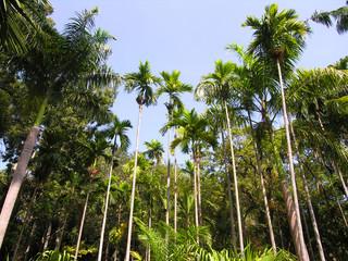 Palm Trees, Pondicherry