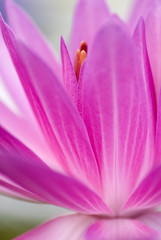 Pink waterlily with shallow depth of field (dof)