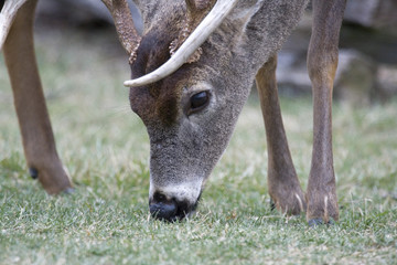 White tailed deer buck feeding