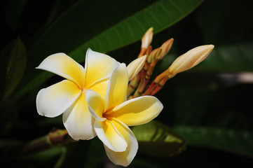 National flower Tiare: Tahiti, Bora, Moorea French Polynesia