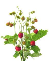 Strauss Walderdbeeren/bunch of wild strawberries