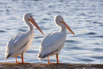 Two white Pelican