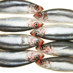 Group of sprats head to head