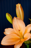Closeup of stamen on an Orange Asiatic Lily poster