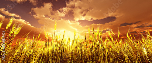 canvas print picture Golden wheat field