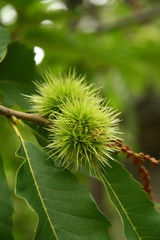 Kastanie Baumfrucht