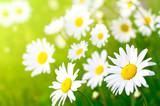 Fototapeta łąka - kwiat - Kwiat