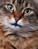 Funny Shorthair kitty poster