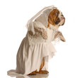 adorable english bulldog dressed up as a bride