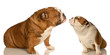puppy love - two english bulldog reaching out for affection