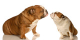 puppy love - two english bulldog reaching out for affection poster