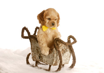 cocker spaniel puppy with bow tie sitting in winter sleigh