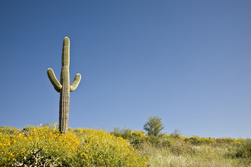 Spring in Arizona's Sonoran desert with Saguaro cactus