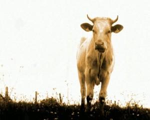 la vache A2