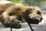 Hound dog laying on a wood porch sleeping under the sun poster