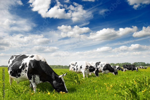 Tuinposter Koe cow on farm