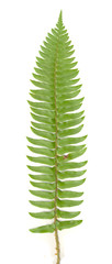 Fern Leaf On White
