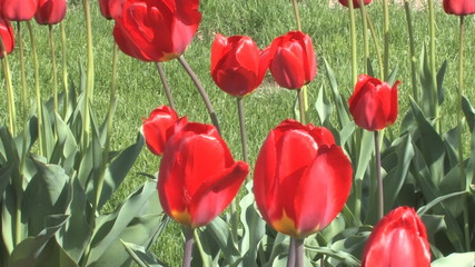 Spring Tulips 004