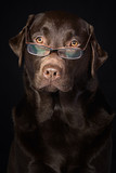 Wise and Intelligent Looking Chocolate Labrador poster