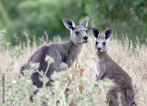 Two cute kangaroos - mother and young