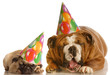 bulldog and a pug wearing birthday hats complaining