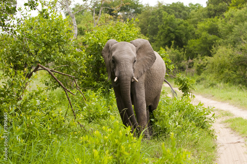Young Elephant Mock Charging on safari in south africa.