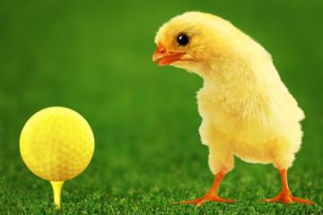 Golf-bal and amusing chicken