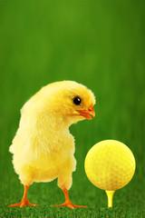 Golf-bal and amusing chicken Vertical