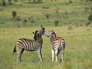 Two Burchell zebras playing on African grass plains