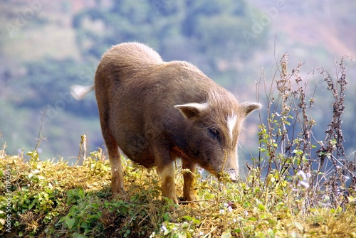 Pot bellied pig along the rice field near Sapa in Vietnam