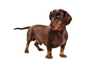 dachshund Ray