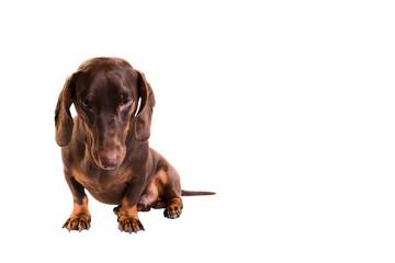 melancholy dachshund