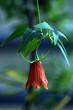 Kanarien-Blume