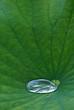 Leinwanddruck Bild - LotusBlatt