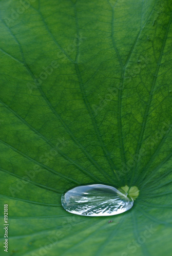 Leinwanddruck Bild LotusBlatt