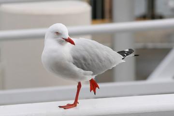Seagull (Silver Gull)